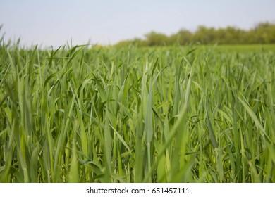 grass, green grass