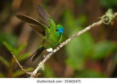 Grass green glittering hummingbird with blue head and tail  Eriocnemis luciani Sapphire-vented Puffleg perched on mossy twig, outstretched wings, cloud forest. Blurred green leaves in background.