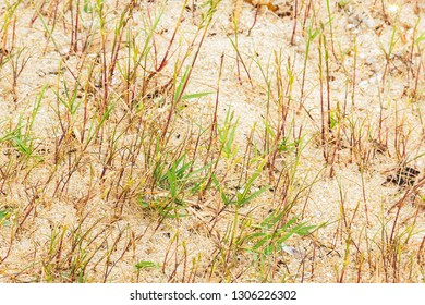 Grass growing on the sand of coastal dunes