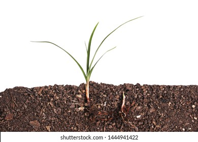 Grass growing in soils on white background.Cross section.