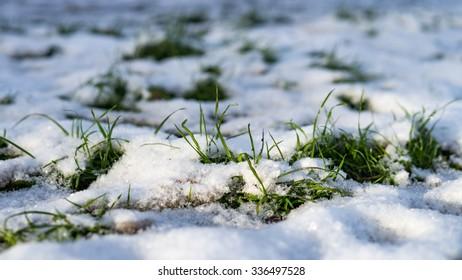 Grass grows through the snow