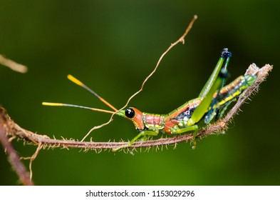 Grass Hopper in Sinharaja rain forest reserve - Sri Lanka