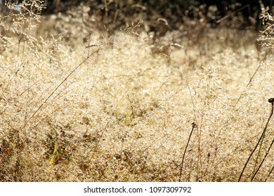 Grass inflorescences with dew drops at sunrise on a wild meadow. Macro photo