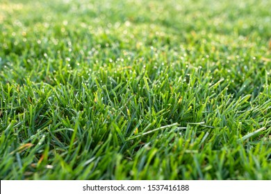 grass lawn close, sheared green lawn in the morning with dew drops