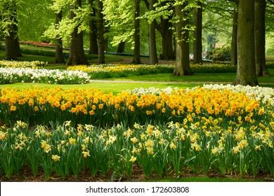 grass lawn with yellow daffodils  in dutch garden 'Keukenhof', Holland
