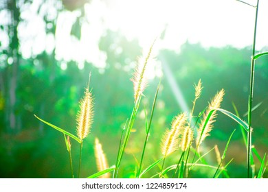 Grass leaves with white sun light in the morning, Flower grass beside road, Green leaves of grass in garden with sunrise, Abstract nature background, Fresh green grass on bright sunshine