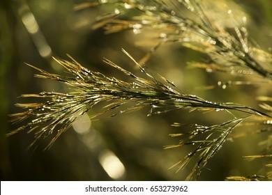 Grass macro, grass field in sun backlight
