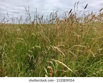 Grass in meadow, Seaton Carew Sand Dunes, Hartlepool, England