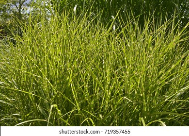 Grass Miscanthus sinensis 'Zebrinus' growing in an area of assorted grasses