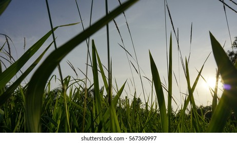 Grass naturally beautiful with a sunbeam.