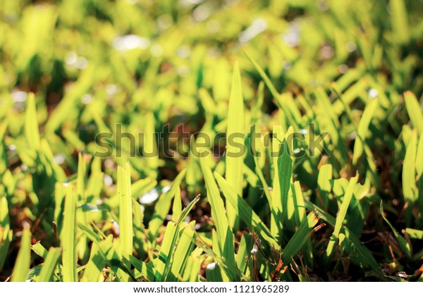 Grass on lawn with the sunlight.
