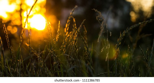 Grass on a meadow in the rays of sunset.