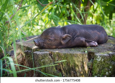 In the grass on a sunny day, the black little pig sleeps soundly.
