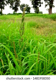Grass plant. Selective focus on the barnyard grass on the green field background.