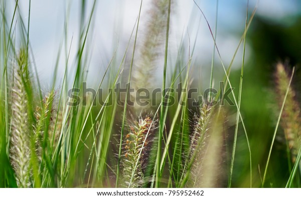 Grass plumes waving in the spring wind