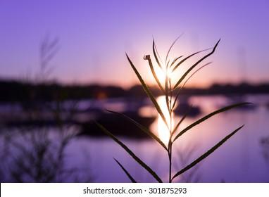 Grass in Purple Sunset