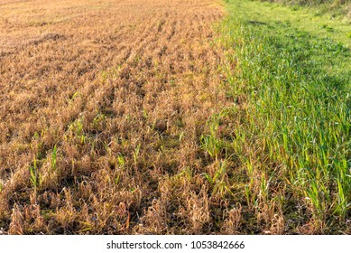 Grass reddish brown Died because of the herbicide