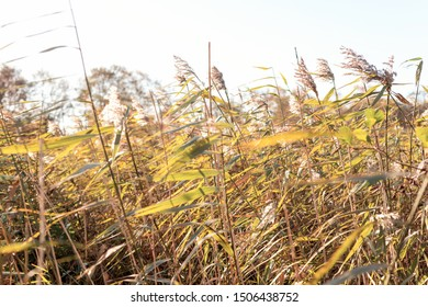Grass reed in nature close-up