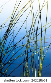 Grass reeds in bright blue pond water