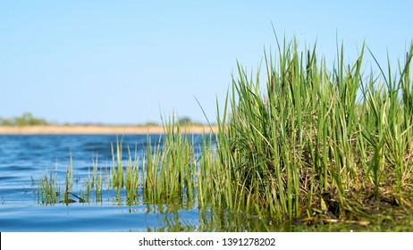 Grass (sedge) on the shore of a lake in a nature reserve near Magdeburg in Germany