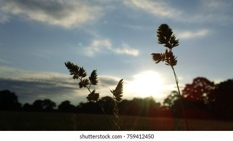 Grass seed heads at dusk