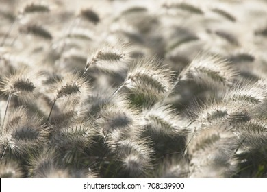 Grass seedheads, backlit, Essaouira, Morocco.