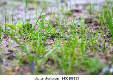 Grass seeds begin to grow on the soil in the garden
