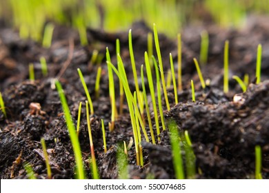 grass seeds that begin to grow on new topsoil, fresh green grass is coming out of them.