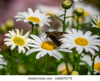 A grass skipper butterfly feeds from daisies in a park in Yamato, Japan. There are several species of skippers native to Japan.