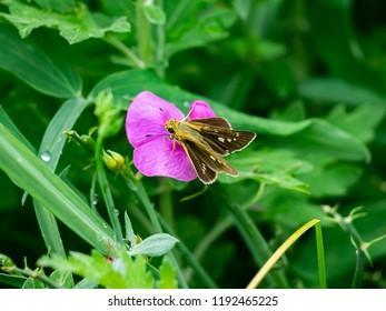 A grass skipper butterfly feeds from small wildflowers along a riverside in Kanagawa, Japan.