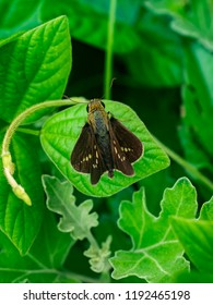 A grass skipper butterfly rests on a leaf while it feeds from small wildflowers along a riverside in Kanagawa, Japan.