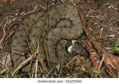 A grass snake (Natrix natrix) curled up in the undergrowth. It is Britain's largest terrestrial reptile..
