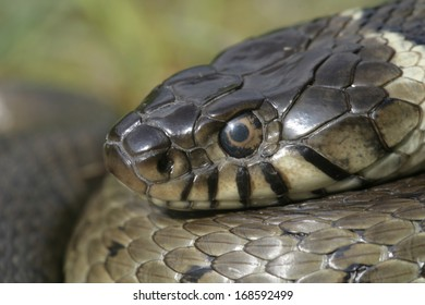 Grass snake, Natrix natrix, single reptile head shot