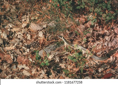 The grass snake (Natrix natrix), sometimes called the ringed or water snake, is a Eurasian non-venomous snake. Snake on old leaves of a forest ground warming up under the bright sun.