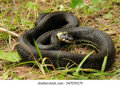 The grass snake (Natrix natrix), sometimes called the ringed snake or water snake, is a Eurasian non-venomous snake. It is often found near water and feeds almost exclusively on amphibians.