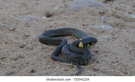 grass snake on dirt