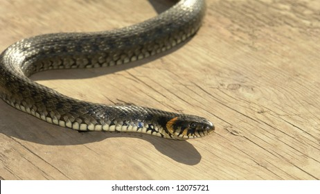 grass snake on a grey background