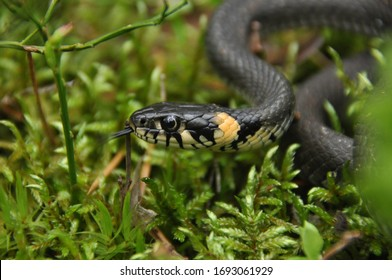 Grass snake resting and hunting in the woods for smaller victims. A venomous snake with yellow spots on the head with a shiny scales and a split tongue. Cold blooded reptile.