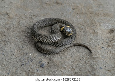Grass snake, young snake curled up on a stone - Natrix natrix, ringed snake or water snake isolated working path.