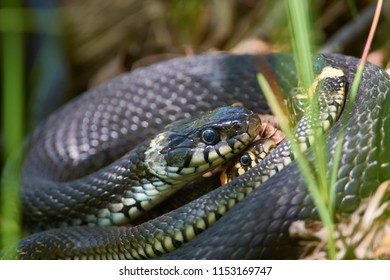 Grass snakes (natrix natrix) entwined in a spring tangle of snakes for mating during the breeding season.