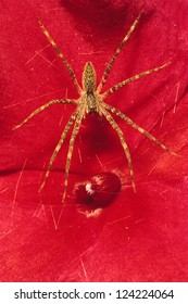 Grass Spider (Agelenopsis potteri) on a red Impatiens