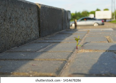 Grass sprout makes its way through asphalt. A young shoot breaks through the concrete. The life force of the plant.