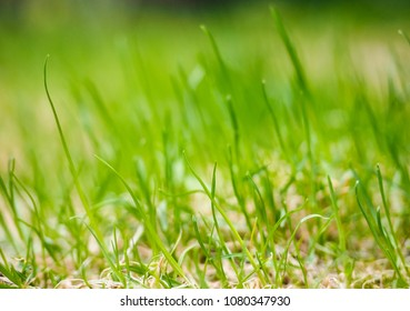 Grass straw on lawn at extreme close up, in fresh green color