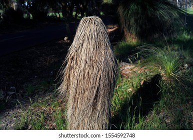 Grass tree that has died, leaving the dried out hair-like leaves hanging down to the ground. Unusual plant growth on a Western Australian Xanthorrhoea tree.