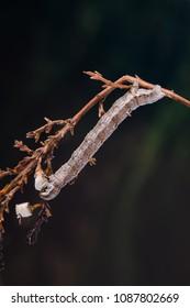 Grass Wave (Perconia strigillaria) moth caterpillar. Sitting on a twig.