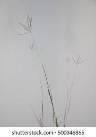 Grass weed blossom straight upward on light background