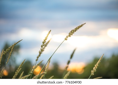 Grass in the Wind at Sunset