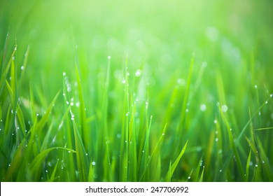Grass-blades with drops of morning dew