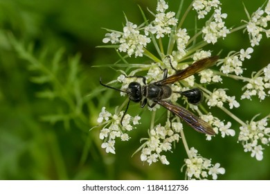Grass-carrying Wasp collecting nectar from a Wild carrot flower. Todmorden Mills Park, Toronto, Ontario, Canada.