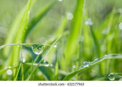 Grasses are dew in the morning beautiful natural.